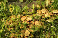 Mushrooms. Yellow mushrooms and green grass Royalty Free Stock Photo