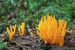 Mushrooms yellow stagshorn Royalty Free Stock Image