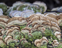 Mushroons fungus on log Royalty Free Stock Image