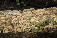 Mushroons fungus on log Royalty Free Stock Photos