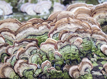 Mushroons fungus on log Royalty Free Stock Photography