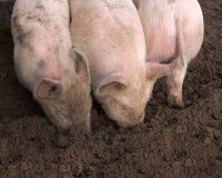 Musi del maiale in fango Immagine Stock