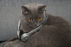 Music cat. Portrait of the Scottish fold cat with headphones Royalty Free Stock Photo