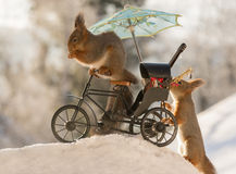 Music cyclist. Close up of red squirrel on a cycle with music instruments and parasol with snow beneath and a squirrel behind Royalty Free Stock Photography
