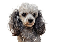 Music dog royalty free stock images