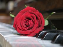 Music Of Love. Red rose resting on piano keys .For the Valentine's Day royalty free stock image