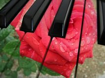 Music rose Royalty Free Stock Photo