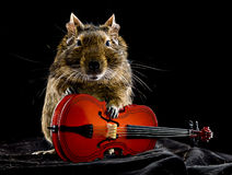 Musical degu Stock Photo