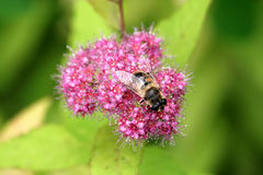 Musician fly on spiraea flower Royalty Free Stock Photos