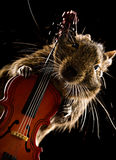 Musicien d'animal familier de Degu Image stock
