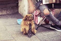 Musicista della via, musicista ambulante con il cane in vetri e legame a Cracovia, Polonia immagine stock