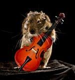 Musikalisk degu Fotografering för Bildbyråer