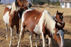 Musikbandet av lösa amerikanska mustanghästar målar Pintos Royaltyfria Bilder