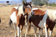 Musikbandet av lösa amerikanska mustanghästar målar Pintos Arkivfoto