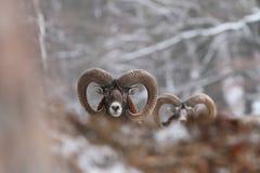 Musimon барана красивейшая природа E Стоковые Изображения RF