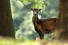 Musimon барана красивейшая природа E Стоковые Фотографии RF