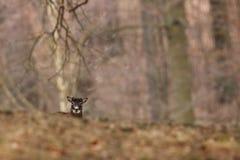 Musimon барана красивейшая природа E Стоковое фото RF