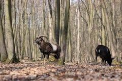 Musimon europeo di orientalis del Ovis di muflone fotografie stock