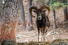 Musimon ibérien d'orientalis d'Ovis de mouflon Photographie stock libre de droits