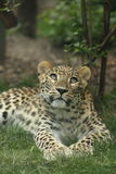 Musing. Leopard in Zoo Budapest stock images