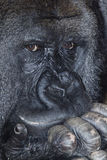 Musing gorilla. Portrait of a thoughtful male silverback gorilla royalty free stock images