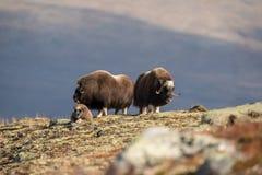 Musk βόδι στο βουνό Dovre στη Νορβηγία Στοκ Φωτογραφίες