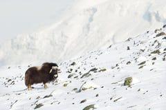 Musk βόδι το χειμώνα Στοκ Φωτογραφία