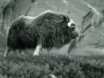 musk βόδι Στοκ Φωτογραφία