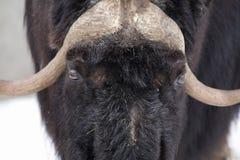 musk βόδι Στοκ εικόνα με δικαίωμα ελεύθερης χρήσης