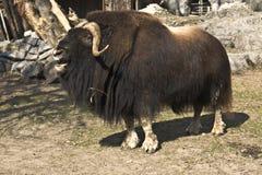 musk βόδι Στοκ φωτογραφία με δικαίωμα ελεύθερης χρήσης