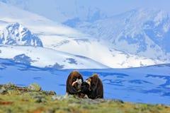 Musk βόδι, moschatus Ovibos, με το βουνό και το χιόνι στο υπόβαθρο, μεγάλο ζώο στο βιότοπο φύσης, Νορβηγία Άγρια φύση Ευρώπη, βισ Στοκ εικόνα με δικαίωμα ελεύθερης χρήσης