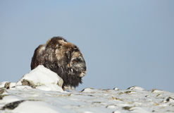 Musk βόδι το χειμώνα Στοκ Εικόνα