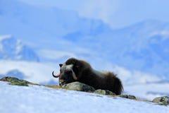 Musk βόδι, moschatus Ovibos, με το βουνό Snoheta στο υπόβαθρο, μεγάλο ζώο στο βιότοπο φύσης, Dovrefjell†«Sunndalsfjella Στοκ εικόνες με δικαίωμα ελεύθερης χρήσης