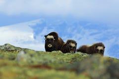 Musk βόδι, moschatus Ovibos, τρία καφετιά ζώα, θηλυκά με cub, με το βουνό Snoheta στο υπόβαθρο, μεγάλο ζώο χιονιού Στοκ Φωτογραφίες