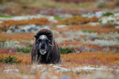 Musk βόδι tundra φθινοπώρου Στοκ φωτογραφίες με δικαίωμα ελεύθερης χρήσης