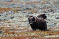 Musk βόδι tundra φθινοπώρου Στοκ Φωτογραφία