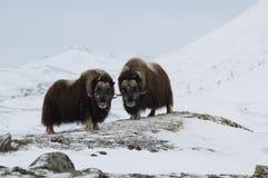 musk χειμώνας βοδιών Στοκ εικόνες με δικαίωμα ελεύθερης χρήσης