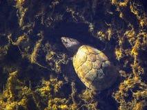 Musk χελώνα Camoflauge Στοκ εικόνες με δικαίωμα ελεύθερης χρήσης