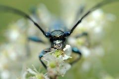 Musk beetle Stock Photos