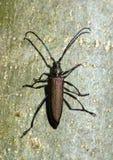 Musk beetle Royalty Free Stock Image