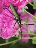 Musk beetle. (Aromia moschata) on a rose flower Stock Photography