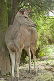 Musk Deer Stock Images