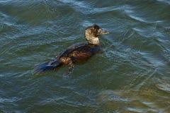 Musk Duck. (Biziura Lobata) feeding in waters off Port Fairy,Vic Stock Photography