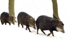 Musk hog (Tayassu tajacu) Stock Photos