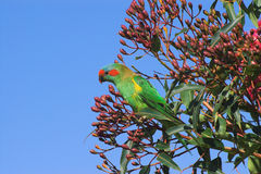 Musk Lorikeet Royalty Free Stock Photos