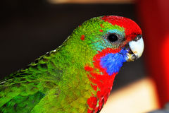 Musk Lorikeet Royalty Free Stock Images