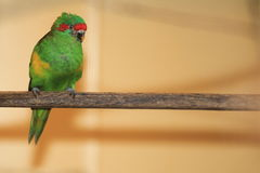Musk lorikeet. Sitting on the perch Stock Images