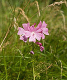 Musk Mallow. Wildflower used medicinally in herbal remedies Stock Photos