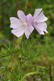 Musk Mallow. Flower - Malva moschata Royalty Free Stock Photos