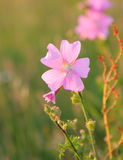 Musk mallow Royalty Free Stock Photo